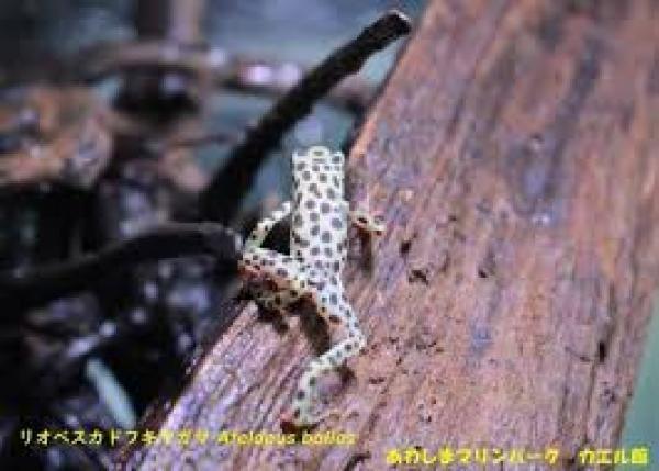 南米秘境で再発見されたカエルの繁殖保護活動費用を集めたい!