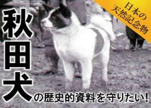 日本の天然記念物「秋田犬」の歴史的変遷の貴重資料を守りたい! 昭和時代の秋田犬、8ミリフィルム記録のデジタルアーカイブ化